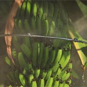 Bico Especial para Banana - Sanigran